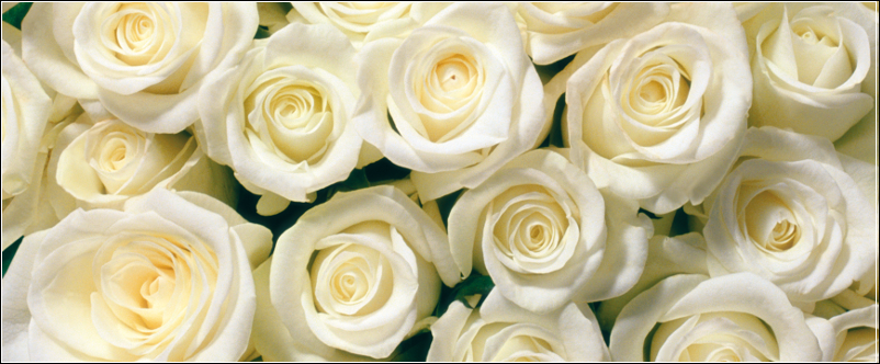 Qixi Festival - White Roses for love, marriage and new beginnings
