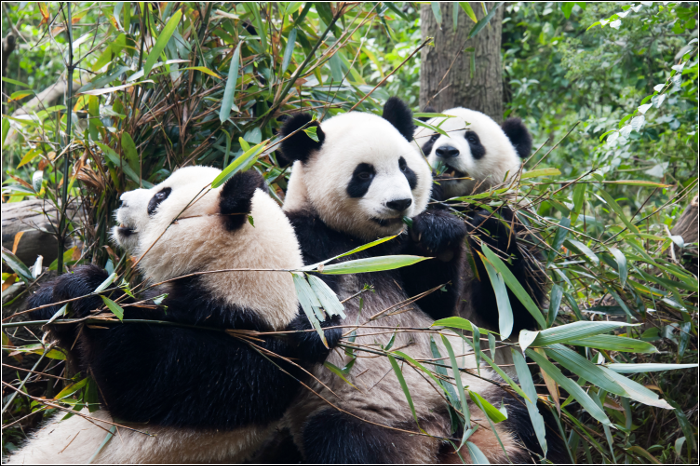 Qixi Festival - TOP 10 Must visit China - China's Giant Pandas - Chengdu